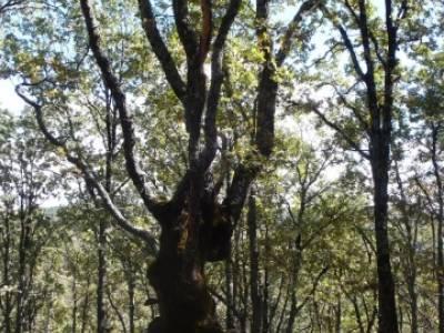 Castañar de la Sierra de San Vicente - Convento del Piélago;senderismo peñalara;rutas para camina